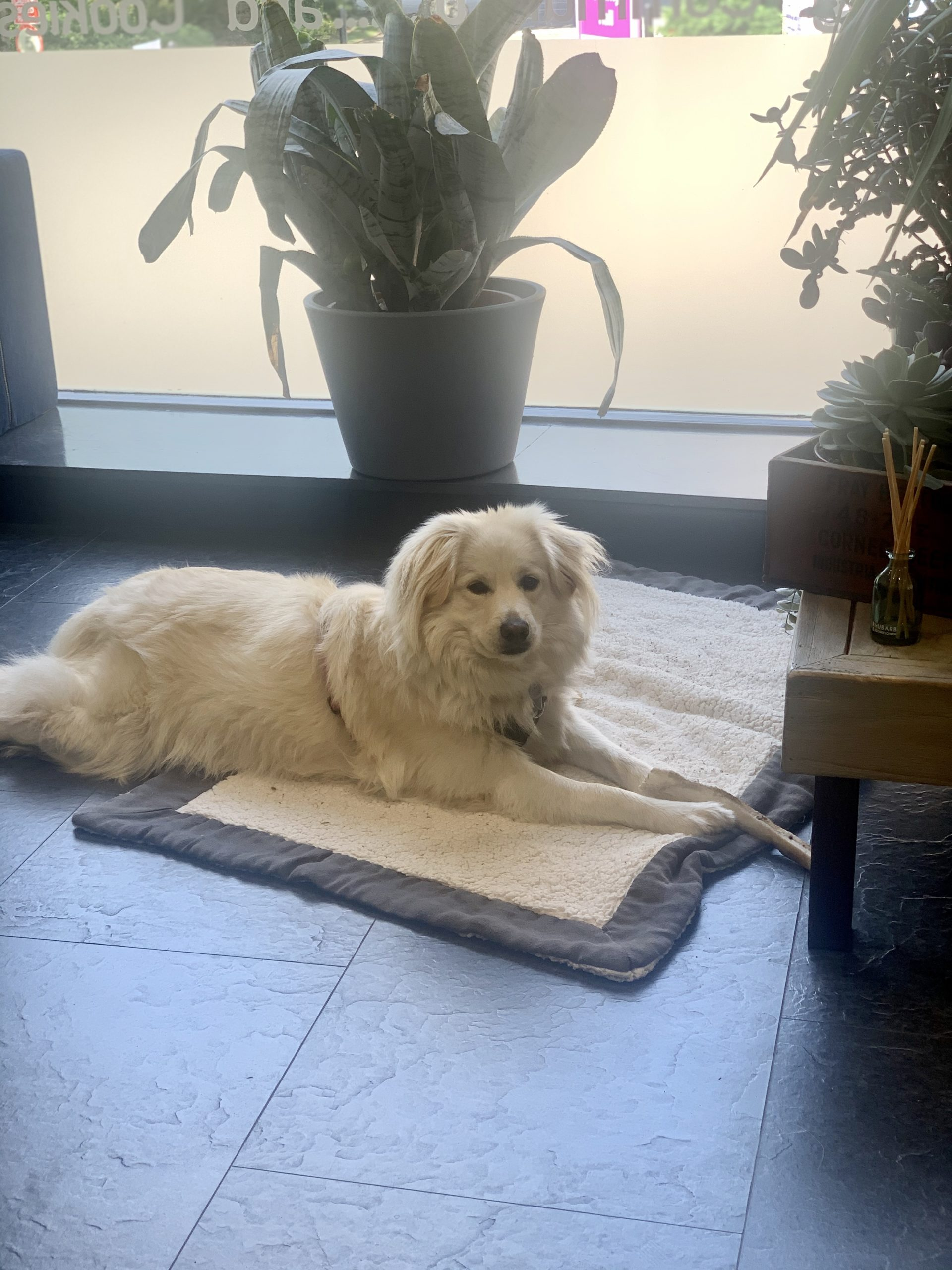Cookie the dog at Coworking Corner